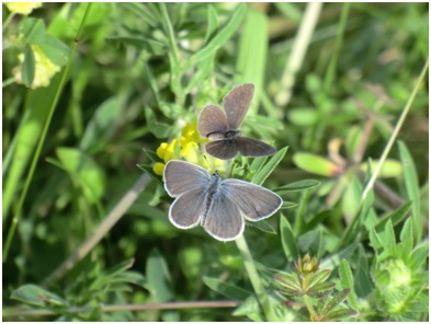 Female small blue butterflies on kidney vetch