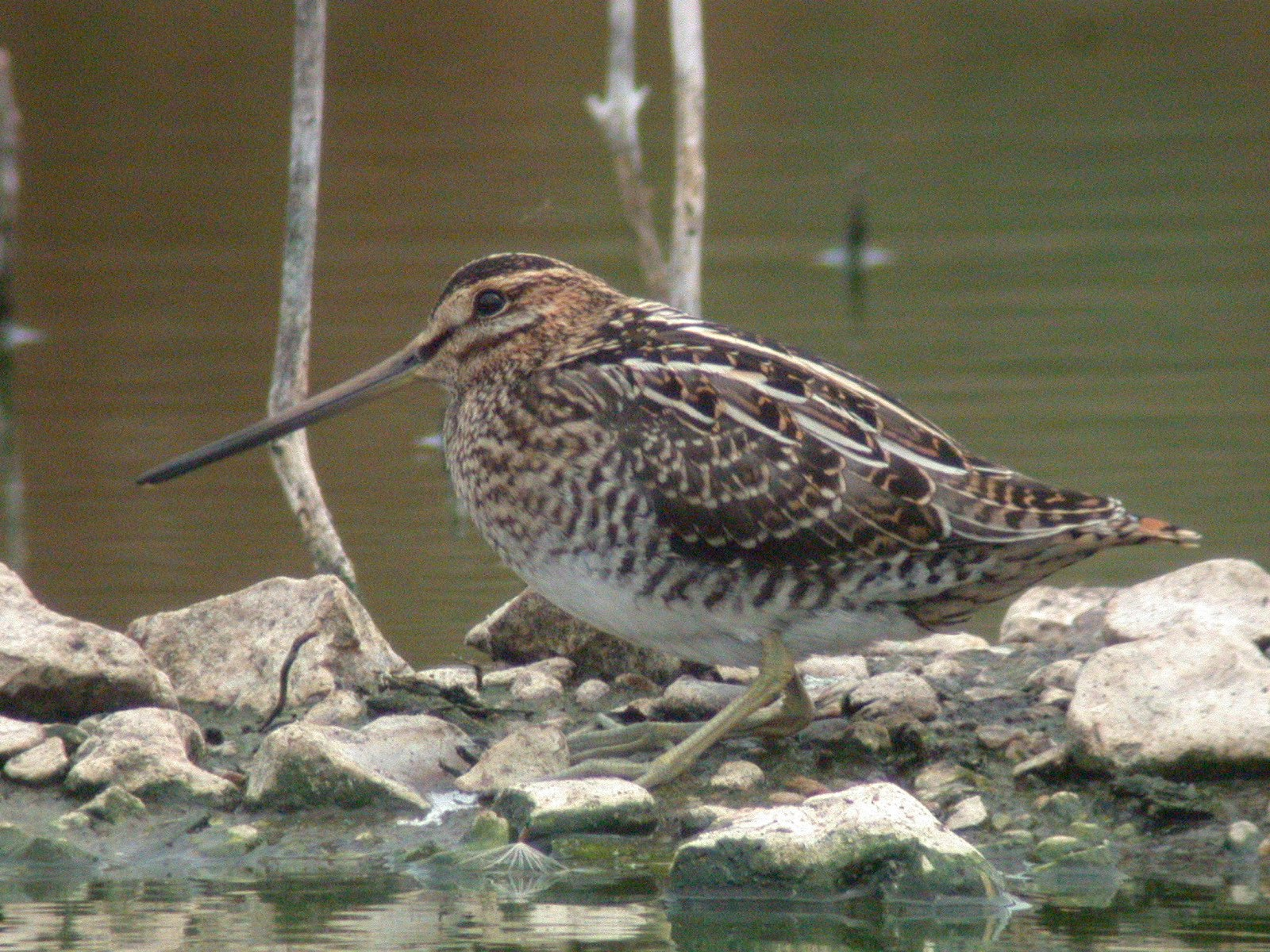 Common Snipe © Peter Alfrey
