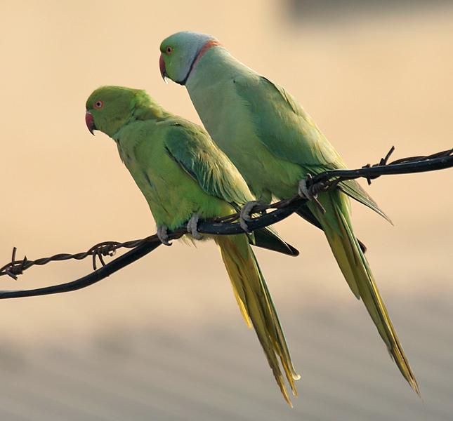 Rose-ringed_Parakeets